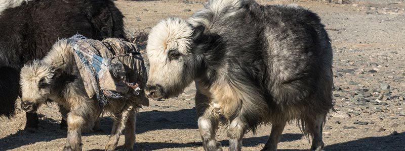 Un fil de yak magnifique et luxueux