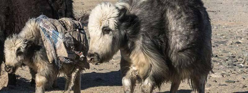 Bellissima e Lussuosa lana di yak Nomadnoos